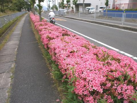 南花台に「サツキ」の花が満開ヽ( 。 )ノ   咲っく南花台.com 2a1a7a9a8ec